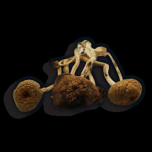 B+ Magic Mushroom Strain